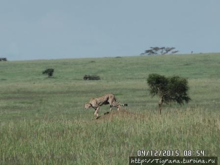 охота гепарда