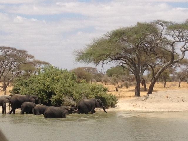 Слоны в Тарангире