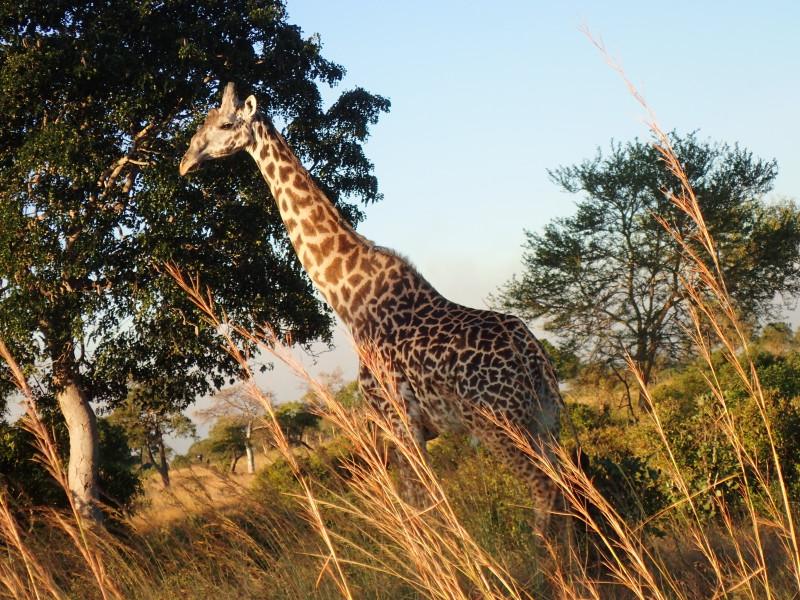 Жираф из Микуми